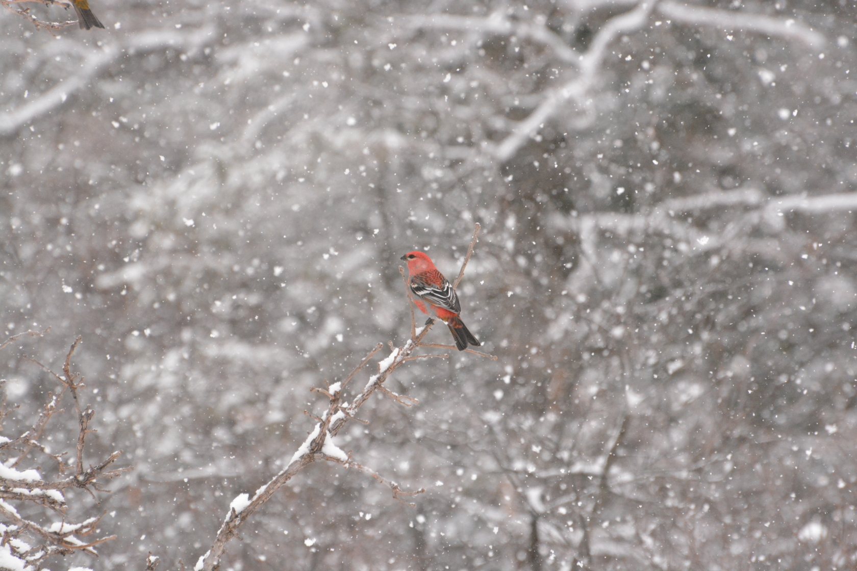 A cardinal sitting on snowy branches